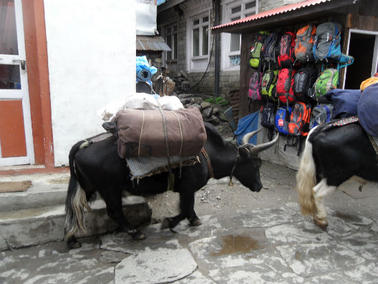 Yaks in the Himalayas Hanging in the Himalayas | Lukla   Monzo