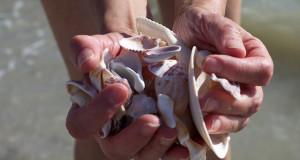 Seashells Sanibel Island - Handful of Seashells